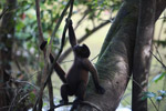 Common woolly monkey (Lagothrix lagotricha) [colombia_0892]