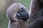 Common woolly monkey at a rehabiltiation center for animals trafficked for the pet trade [colombia_0901]
