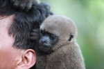 Common woolly monkey at a rehabiltiation center for animals trafficked for the pet trade [colombia_0920]