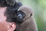 Common woolly monkey at a rehabiltiation center for animals trafficked for the pet trade [colombia_0921]