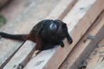 Brown-mantled Tamarin (Saguinus fuscicollis) [colombia_0946]