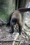 Common woolly monkey (Lagothrix lagotricha) [colombia_0965]