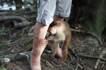 Capuchin monkey investigating a keeper's boot at a rehabilitation center