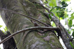 Pygmy Marmoset (Cebuella pygmaea) [colombia_0979]