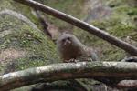 Pygmy Marmoset (Cebuella pygmaea) [colombia_0982]