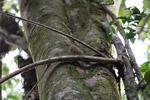 Pygmy Marmoset (Cebuella pygmaea) [colombia_0991]