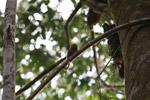 Pygmy Marmoset (Cebuella pygmaea) [colombia_0993]