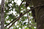 Pygmy Marmoset (Cebuella pygmaea) [colombia_0994]