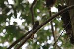 Pygmy Marmoset (Cebuella pygmaea) [colombia_0997]