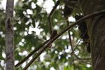 Pygmy Marmoset (Cebuella pygmaea) [colombia_0998]