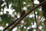 Pygmy Marmoset (Cebuella pygmaea) [colombia_0999]