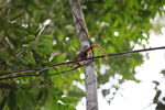 Male Pygmy Marmoset (Cebuella pygmaea) [colombia_1003]