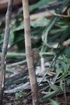 Pygmy Marmoset (Cebuella pygmaea) [colombia_1006]