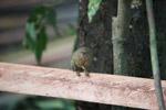 Pygmy Marmoset (Cebuella pygmaea) [colombia_1016]