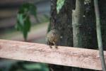 Pygmy Marmoset (Cebuella pygmaea) [colombia_1017]
