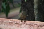 Pygmy Marmoset (Cebuella pygmaea) [colombia_1019]