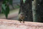 Pygmy Marmoset (Cebuella pygmaea) [colombia_1020]