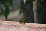 Pygmy Marmoset (Cebuella pygmaea) [colombia_1021]