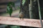 Pygmy Marmoset (Cebuella pygmaea) [colombia_1022]