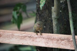 Pygmy Marmoset (Cebuella pygmaea) [colombia_1024]