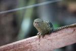 Pygmy Marmoset (Cebuella pygmaea) [colombia_1029]