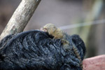 Pygmy Marmoset (Cebuella pygmaea) on the back of a monk saki monkey