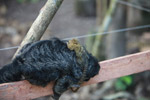 Pygmy Marmoset (Cebuella pygmaea) on the back of a monk saki monkey [colombia_1034]