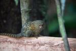 Pygmy Marmoset (Cebuella pygmaea) [colombia_1035]