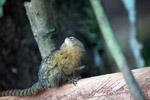 Pygmy Marmoset (Cebuella pygmaea) [colombia_1037]