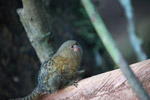 Pygmy Marmoset (Cebuella pygmaea) [colombia_1042]