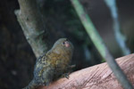 Pygmy Marmoset (Cebuella pygmaea) [colombia_1045]