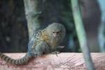 Pygmy Marmoset (Cebuella pygmaea) [colombia_1054]