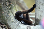Common woolly monkey (Lagothrix lagotricha) [colombia_1059]