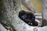 Common woolly monkey (Lagothrix lagotricha) [colombia_1061]