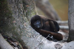 Common woolly monkey (Lagothrix lagotricha) [colombia_1069]