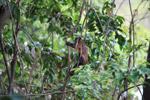 Brown Capuchin (Cebus apella) [colombia_1072]