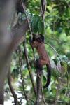 Brown Capuchin (Cebus apella) [colombia_1074]