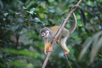 Common Squirrel Monkey (Saimiri sciureus) [colombia_1075]