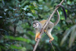 Colombian Squirrel Monkey (Saimiri sciureus)