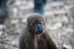 Common woolly monkey at a rehabiltiation center for animals once trafficked for the pet trade [colombia_1105]