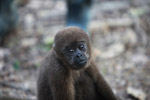 Common woolly monkey at a rehabiltiation center for animals once trafficked for the pet trade [colombia_1107]