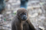 Common woolly monkey at a rehabiltiation center for animals once trafficked for the pet trade [colombia_1108]