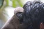 Common woolly monkey at a rehabiltiation center for animals once trafficked for the pet trade [colombia_1122]