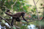 Common woolly monkey (Lagothrix lagotricha) [colombia_1129]
