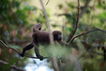 Common woolly monkey (Lagothrix lagotricha) [colombia_1130]