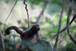 Common woolly monkey (Lagothrix lagotricha) [colombia_1131]