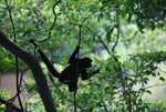 Common woolly monkey (Lagothrix lagotricha) [colombia_1152]