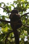 Monk Saki (Pithecia monachus) [colombia_1153]