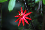 Red passiflora flower [colombia_1170]