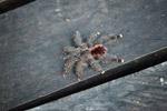 Pinktoe tarantula (Avicularia avicularia) [colombia_1178]